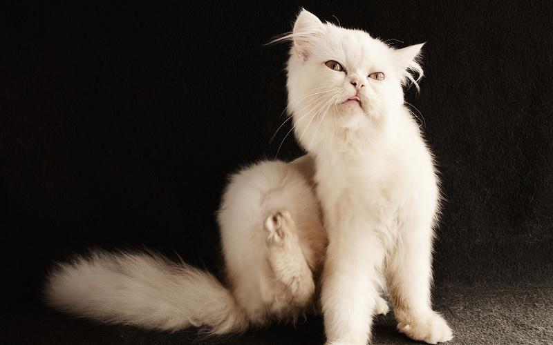 kat met jeuk
