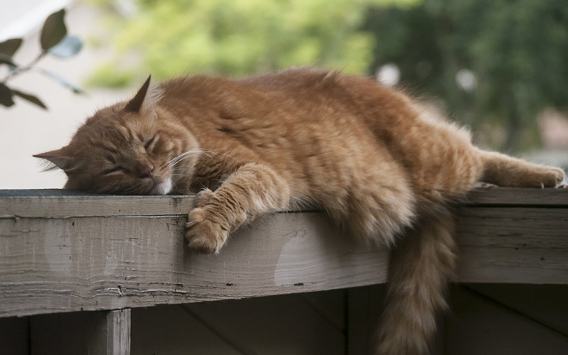 luie, inactieve kat