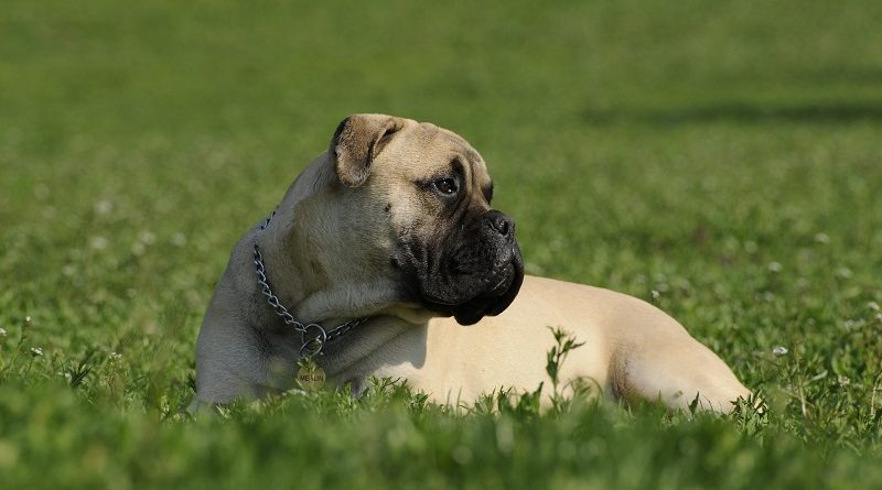 bullmastiff in gras