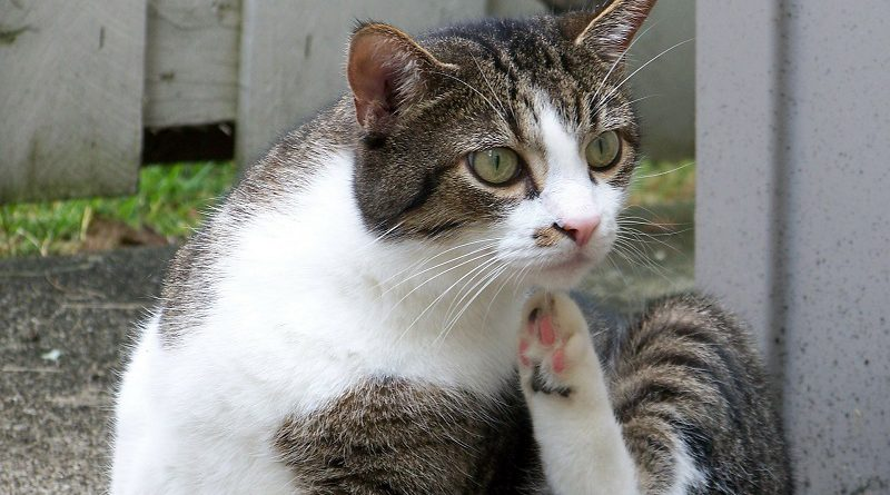 Kat met jeuk van vlooien