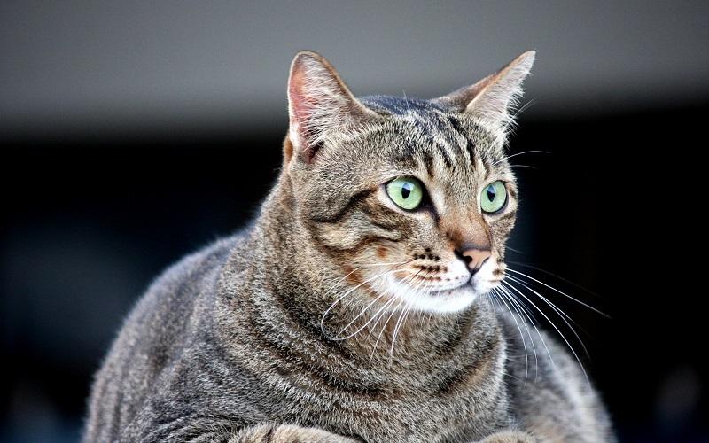 te zware kat