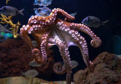 De octopus