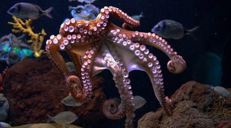 octopus (inktvis)