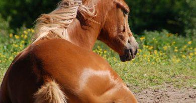 Influenza / griep bij paarden