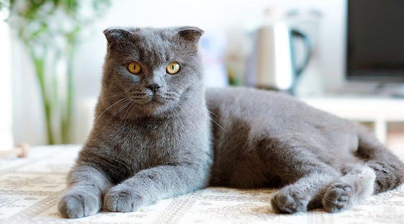 Britse korthaar kattenras