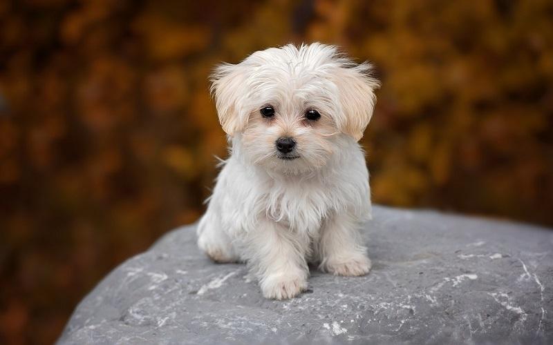 Maltezer hondenras