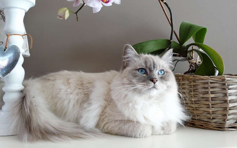 Ragdoll kattenras