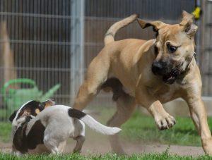 Boerboel en andere hond