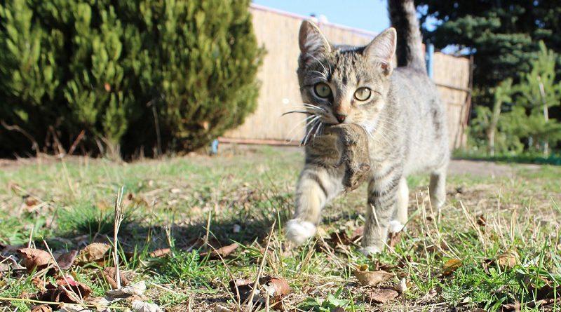 Kat met prooi muis gevangen
