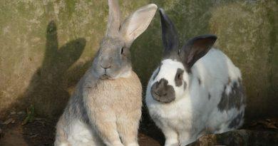 Twee of meer konijnen bij elkaar, hoe pak je dat aan?