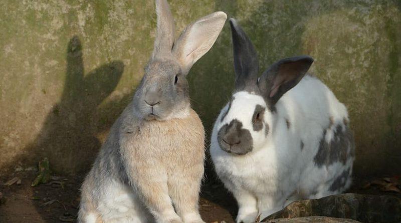 meerdere konijnen bij elkaar