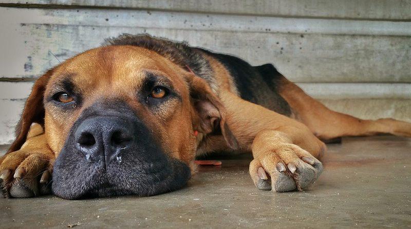 vermoeide hond