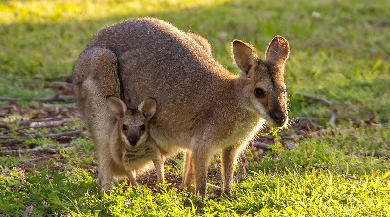 Wallabie kangoeroe