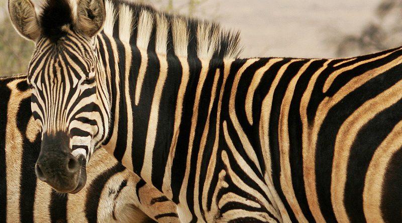 Zebra vacht strepen